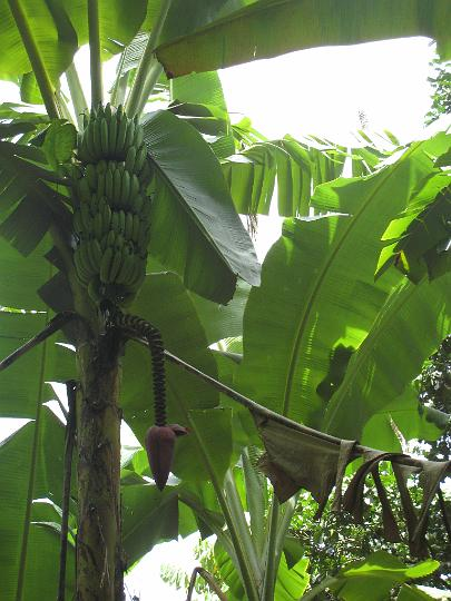 Banana Tree Bloom