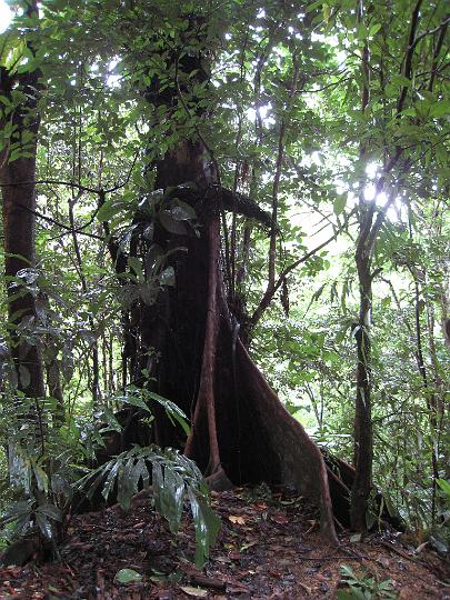 Flying Buttress Roots